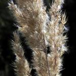 Landreitgras Samenrispe silbrig Calamagrostis epigejos 02