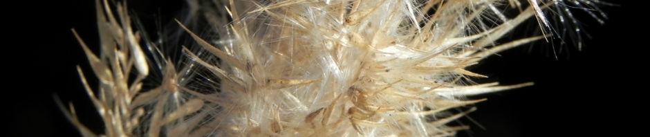 Anklicken um das ganze Bild zu sehen Land-Reitgras Samenrispe silbrig Calamagrostis epigejos