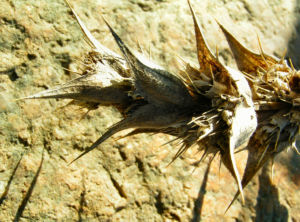 Langblaettrige Wirtelkarde Bluete Blatt Samen Morina longifolia 06