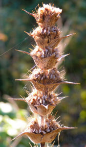 Langblaettrige Wirtelkarde Bluete Blatt Samen Morina longifolia 07