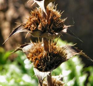 Langblaettrige Wirtelkarde Bluete Blatt Samen Morina longifolia 13