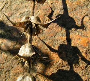 Langblaettrige Wirtelkarde Bluete Blatt Samen Morina longifolia 14