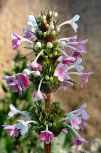 Langblaettrige Wirtelkarde Bluete Blatt Samen Morina longifolia 15