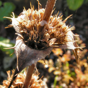 Langblaettrige Wirtelkarde Bluete Blatt Samen Morina longifolia 16