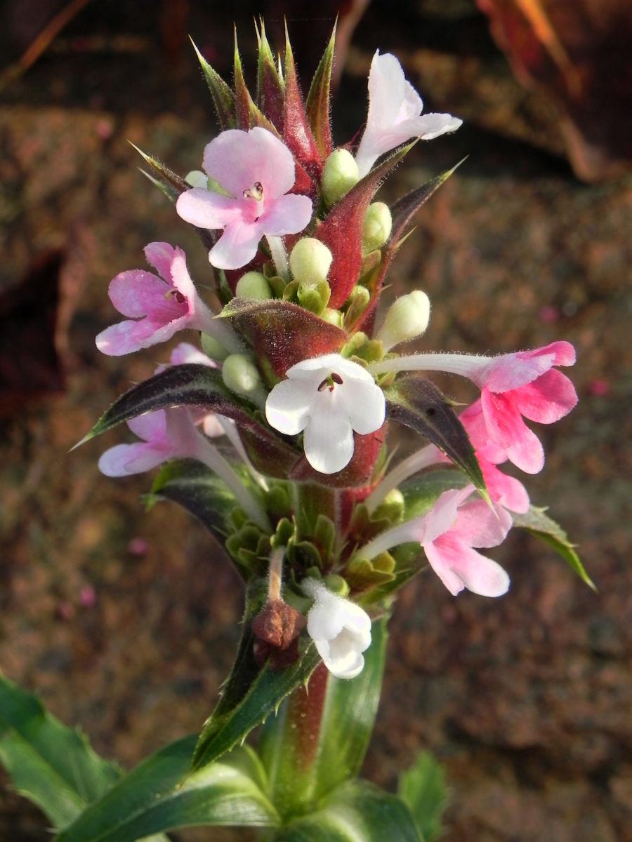 Langblaettrige Wirtelkarde Bluete weiss rosa Morina longifolia