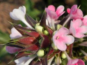 Langblaettrige Wirtelkarde Bluete weiss rosa Morina longifolia 16
