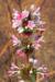 Zurück zum kompletten Bilderset Langblättrige Wirtelkarde Blüte weiß rosa Morina longifolia