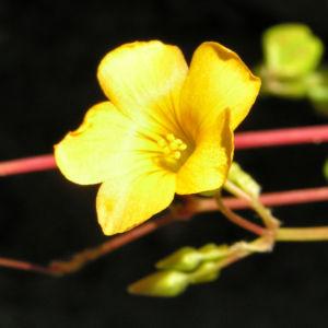 Bild: Langschaeftiger Sauerklee Bluete gelb Oxalis peduncularis