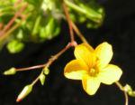 Langschaeftiger Sauerklee Bluete gelb Oxalis peduncularis 02