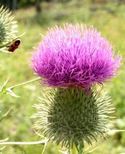 Lanzett Kratzdistel Bluete violett Cirsium vulgare 02