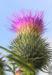 Zurück zum kompletten Bilderset Gewöhnliche Kratzdistel Blüte pink Cirsium vulgare