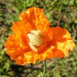 Lapplaendischer Mohn Bluete orange Papaver lapponicum 01