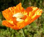 Lapplaendischer Mohn Bluete orange Papaver lapponicum 02