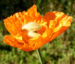 Zurück zum kompletten Bilderset Lappländischer Mohn Blüte orange Papaver lapponicum