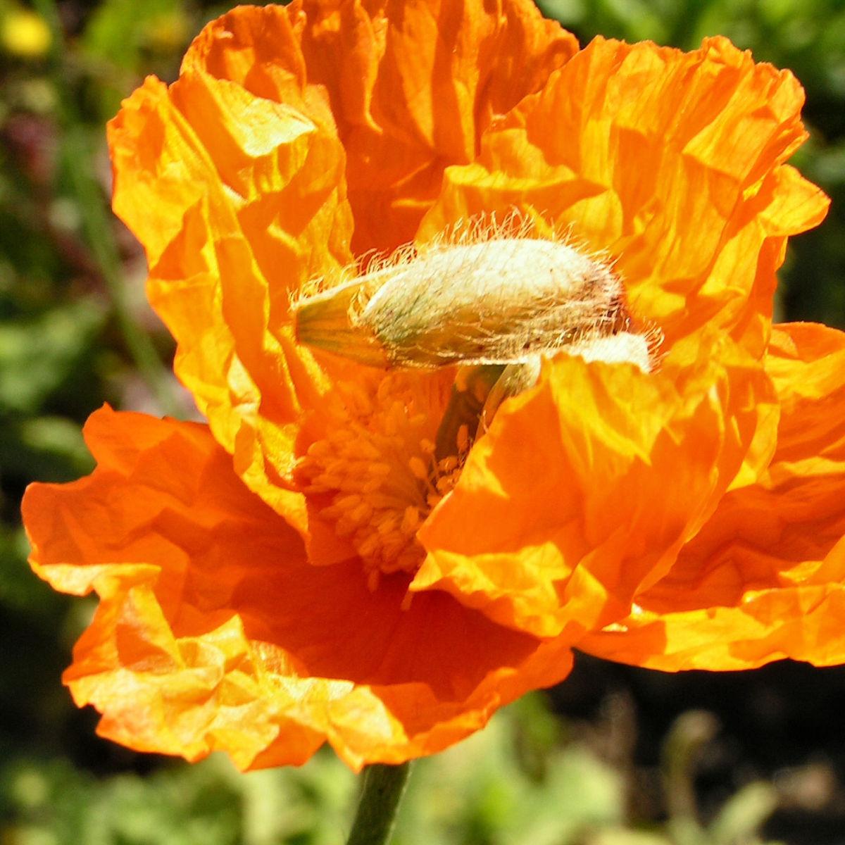Lapplaendischer Mohn Bluete orange Papaver lapponicum