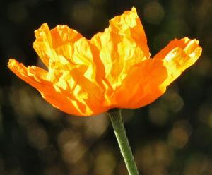 Bild: Lapplaendischer Mohn Bluete orange Papaver lapponicum