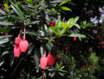 Laternenbaum Bluete rot Crinodendron hookerianum 01