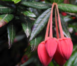 Laternenbaum Bluete rot Crinodendron hookerianum 07
