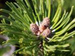 Latsche Leg Foehre Baum Nadel gruen Pinus mugo 02