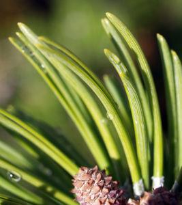 Latsche Leg Foehre Baum Nadel gruen Pinus mugo 06