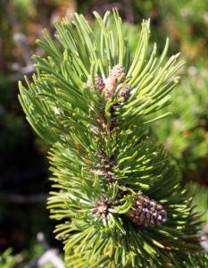 Latsche Leg Foehre Baum Nadel gruen Pinus mugo 07