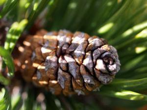 Latsche Leg Foehre Baum Nadel gruen Pinus mugo 09