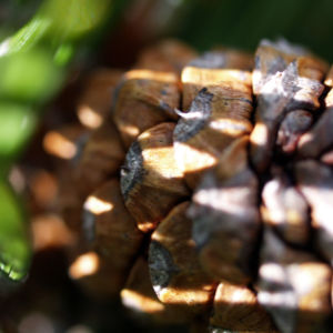 Latsche Leg Foehre Baum Nadel gruen Pinus mugo 10