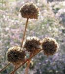 Lauchartige Grasnelke Samenkapseln braeunlich Armeria alliacea 01