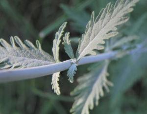 Lavendel Blatt grün Lavandula angustifolia