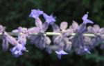 Bild: Lavendel Blüte hell lila Blatt grün Lavandula