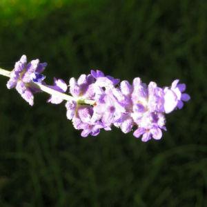 Bild: Lavendel Bluete helllila Lavandula officinalis