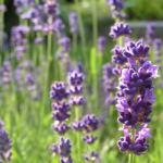 Lavendel Bluete lila Lavandula angustifolia 06