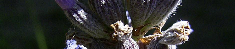 Anklicken um das ganze Bild zu sehen  Lavendel Blüten blau lila Lavandula angustifolia