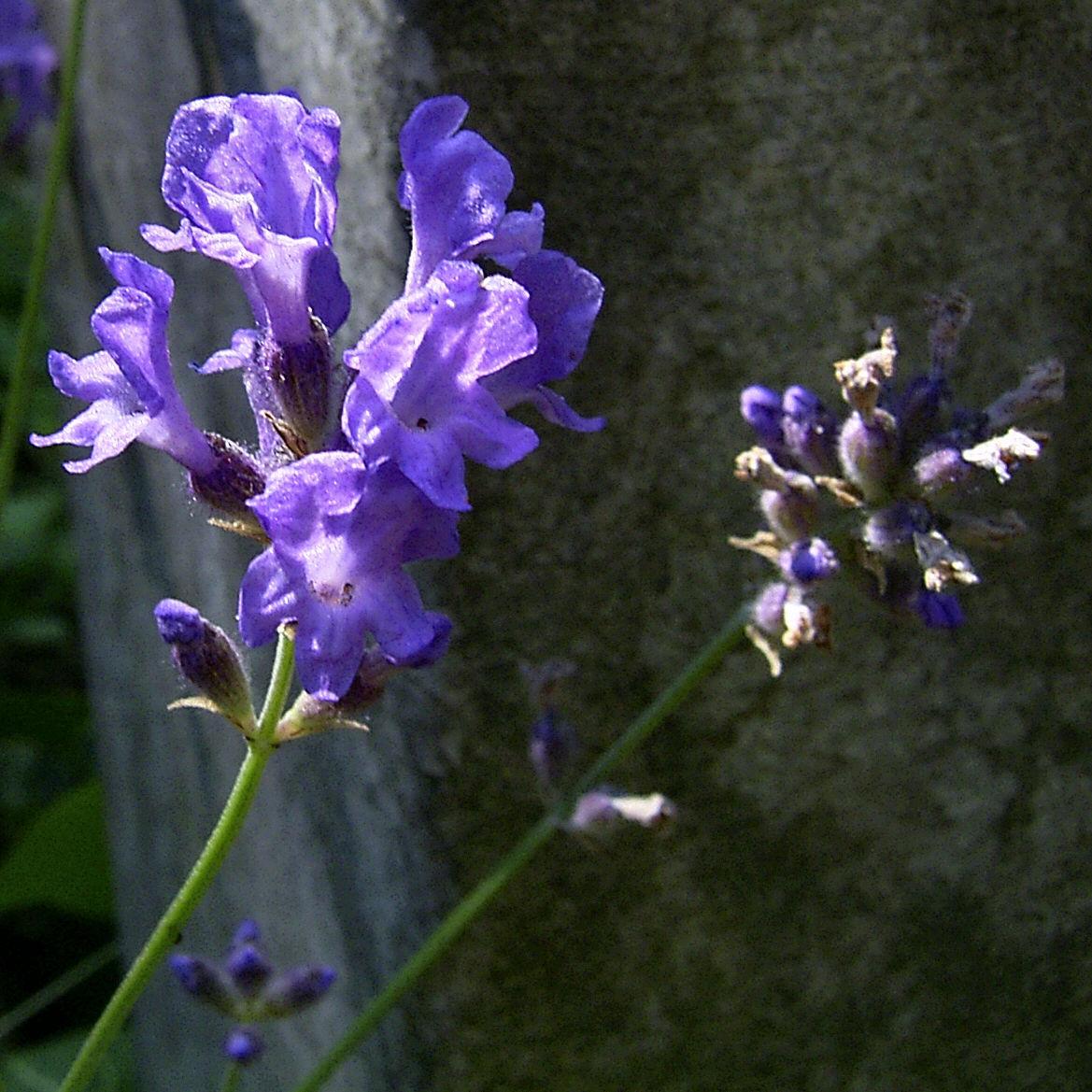 Lavendel Blueten Lavandula angustifolia