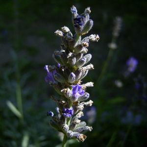 Lavendel Blueten Lavandula angustifolia 07