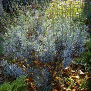 Bild: Lavendel Strauch Lavandula angustifolia
