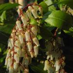 Lavendelheide Bluete weiss Pieris japonica 05