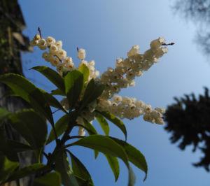 Lavendelheide Bluete weiss Pieris japonica 08