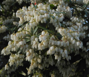 Lavendelheide Bluete weiss Pieris japonica 24