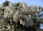 Lavendelheide Bluete weiss Pieris japonica 25
