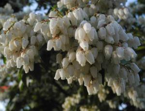 Lavendelheide Bluete weiss Pieris japonica 26