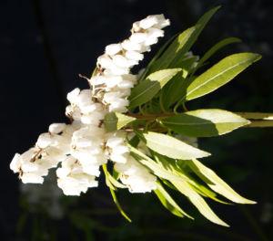 Lavendelheide Strauch Bluete weiss Pieris japonica 02