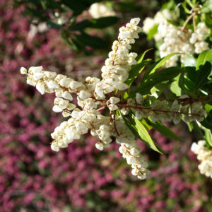 Lavendelheide Strauch Bluete weiss Pieris japonica 03