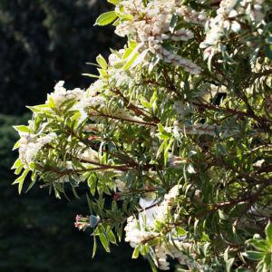 Lavendelheide Strauch Bluete weiss Pieris japonica 04