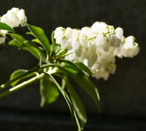 Lavendelheide Strauch Bluete weiss Pieris japonica 07