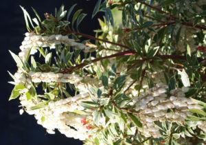 Lavendelheide Strauch Bluete weiss Pieris japonica 09