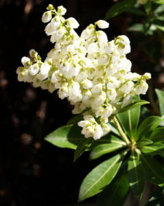 Lavendelheide Strauch Bluete weiss Pieris japonica 13