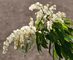 Lavendelheide Strauch Bluete weiss Pieris japonica 15