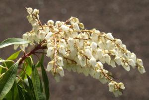 Lavendelheide Strauch Bluete weiss Pieris japonica 17
