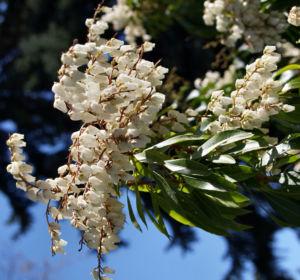 Lavendelheide Strauch Bluete weiss Pieris japonica 19